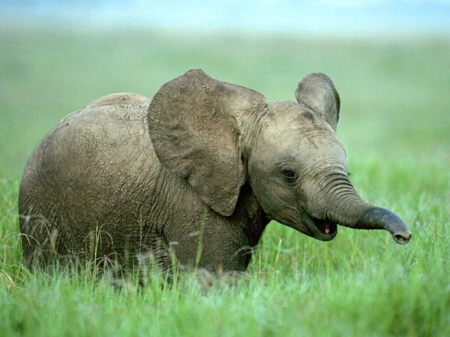 Lindo bebe elefante para tu escritorio